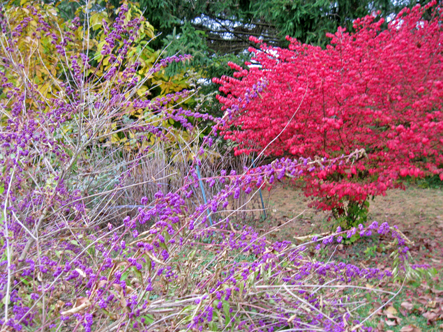 Inspiring autumn colors - purple Beautyberry, red Burning Bush, yellow Pawpaw, green Pine, brown earth & blue sky